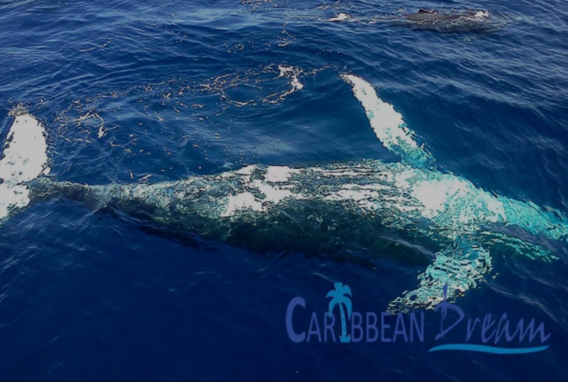 obsevación de ballenas en República Dominicana